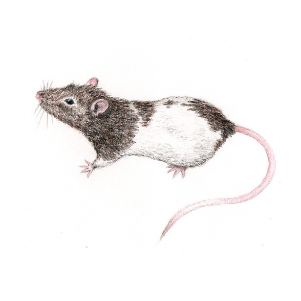 Chewy the Rat