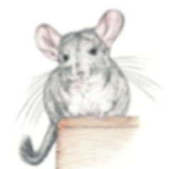 Grey chinchilla pencil illustration