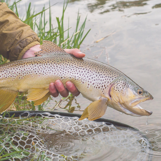 Large_Brown_Trout.jpg