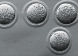 NAMC Mouse Embryo.PNG