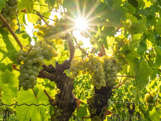 How to Grow Plump Wine Grapes for a Deep and Complex Homemade Wine