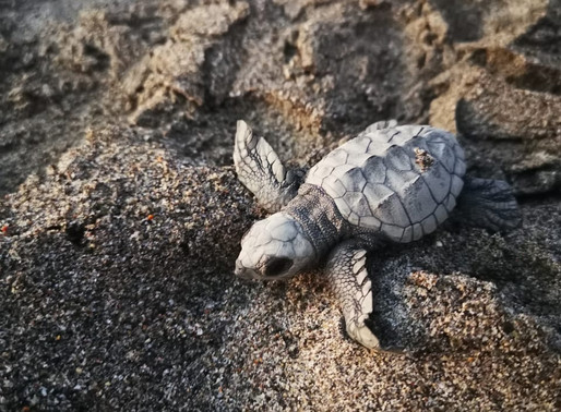 Marriott International Reinforces its Commitment to the Conservation of Sea Turtles in Mexico
