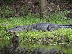 Alligator Hunts