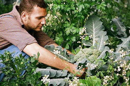 recogiendo Brócoli