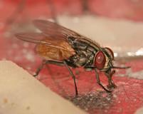 Musca_domestica_housefly.jpg