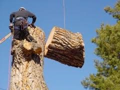 Tree Climber Cutting Down Sections