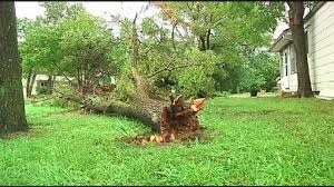 Tree blown over by wind