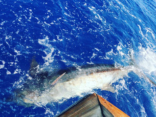 Tagged Marlin Off South Kona!