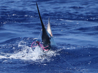 Blue Marlin are here!