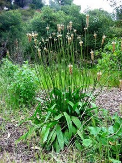 Ribgrass Plantain