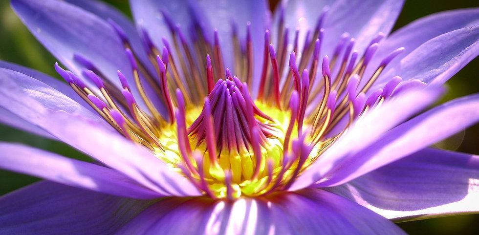Blue Lotus .jpg