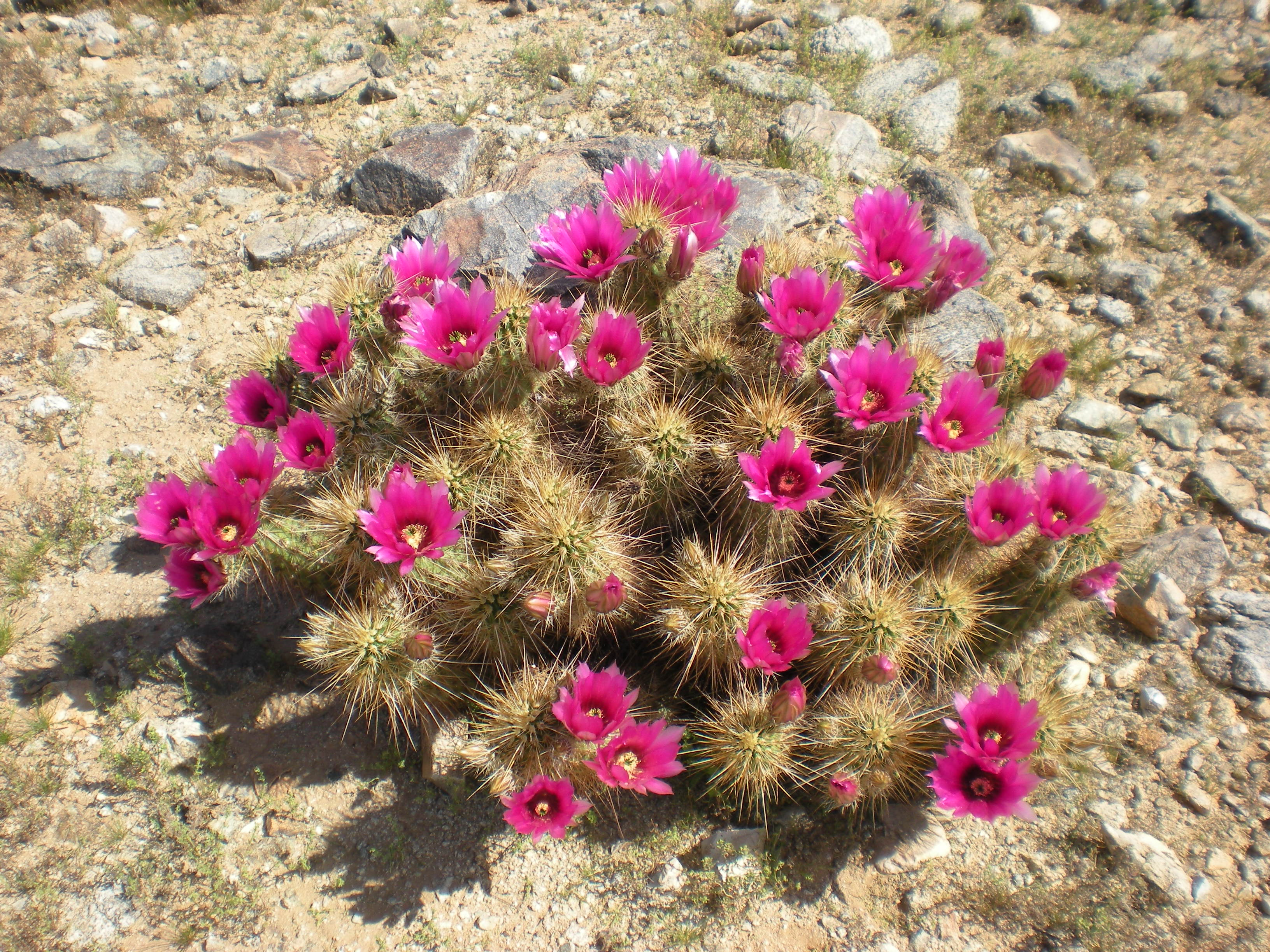 Hedgehog Cactus in bloom!