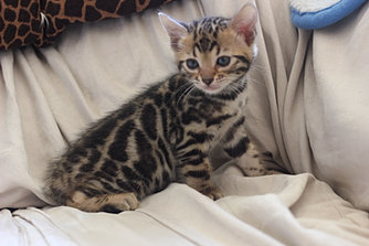 Bengal cat breeder iowa