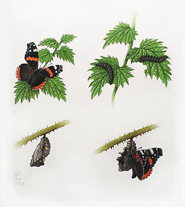 Red Admiral Life Cycle