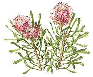 Nuton Proteia 'pincushion' (No1 in Protea)