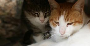 Guía de presentación cuando viene un gato nuevo a casa.