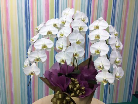 白い胡蝶蘭の花言葉「純粋」