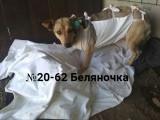 ЗАКРЫТ Сбор № 23 Компенсация оплаты стерилизации собаки №20-62 Беляночка
