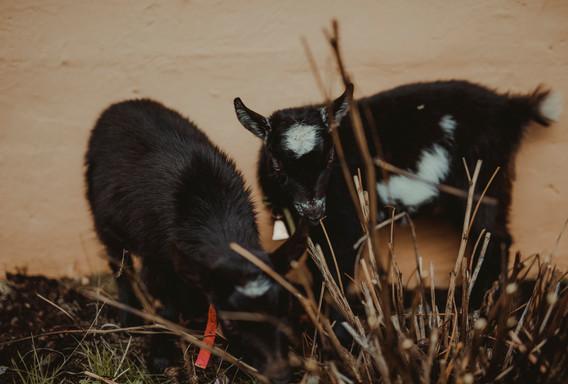 Adorable Goat Friends!