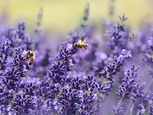 French Lavender Essential Oil - 5 ml