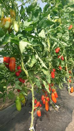 Tomaten San Marzano