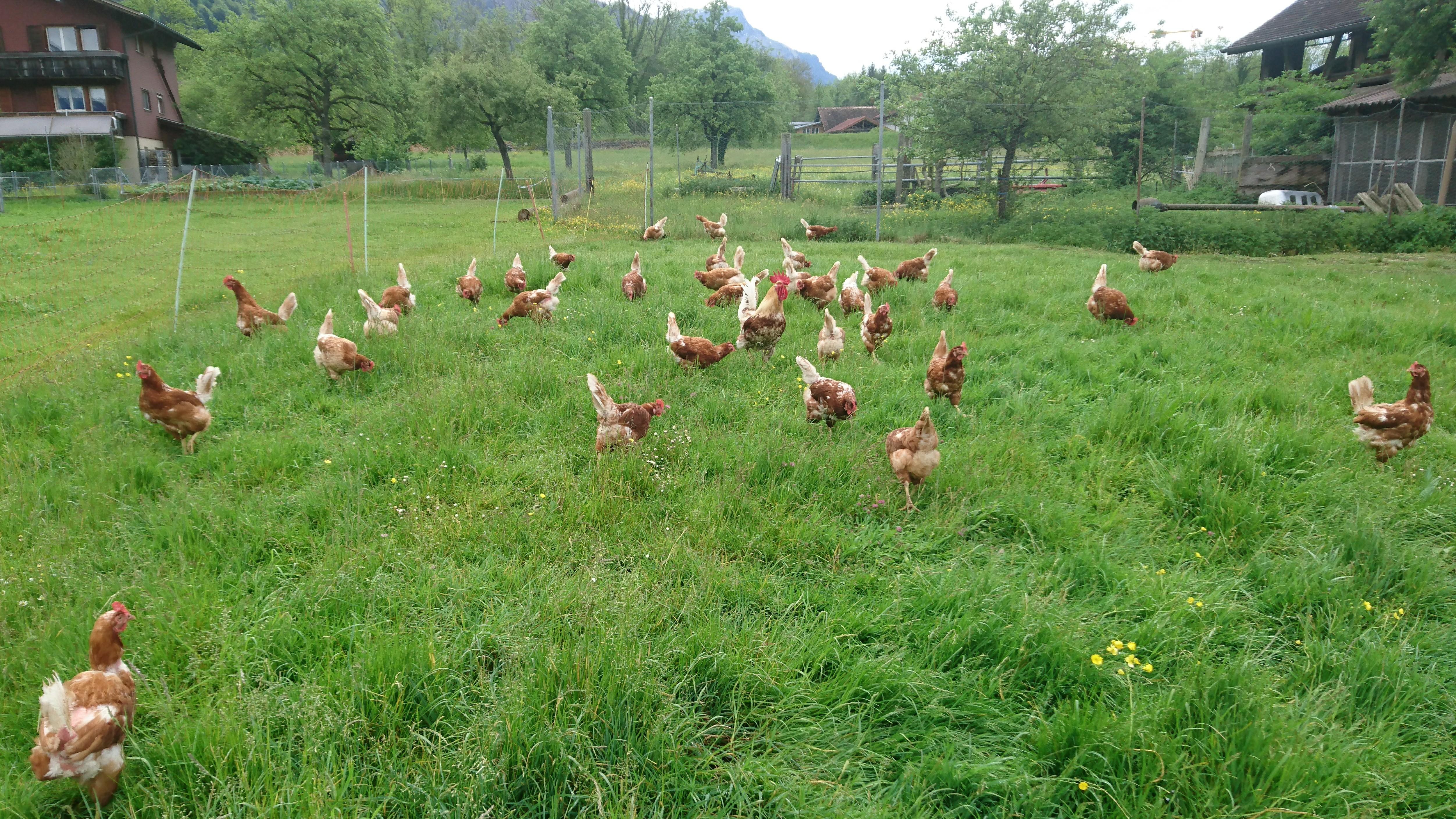 Hühner auf der Weide