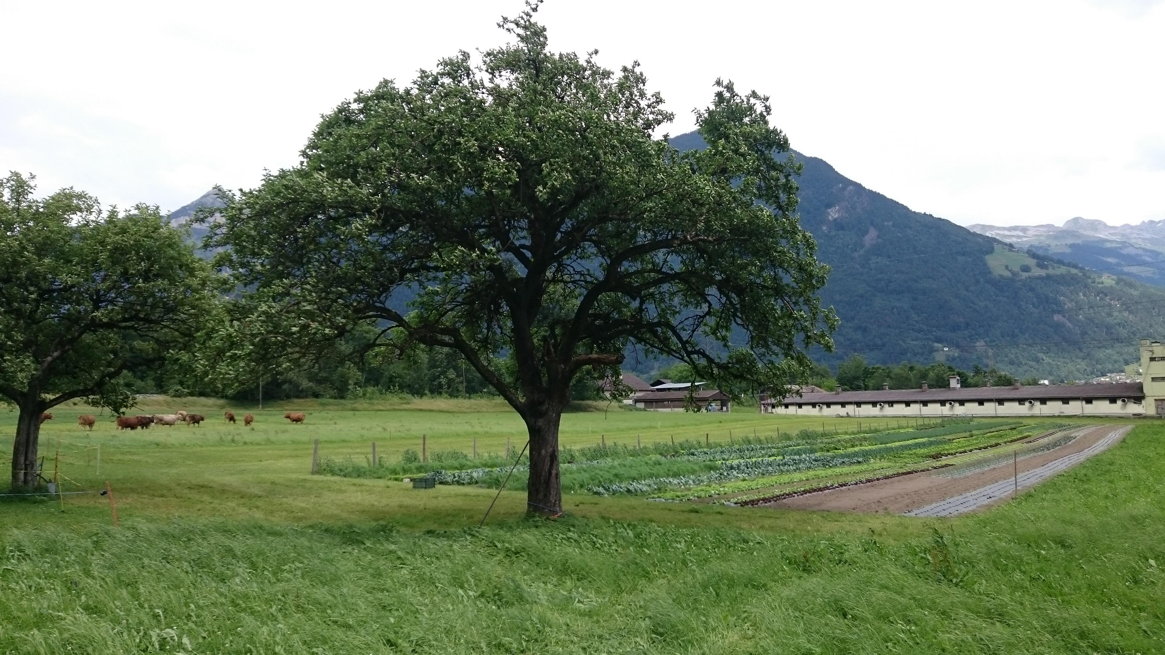 Apfelbaum und Gemüsegarten