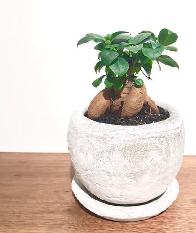 セメント鉢に植えたガジュマル
