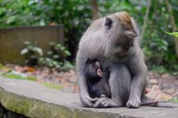 Bali Monkey 05