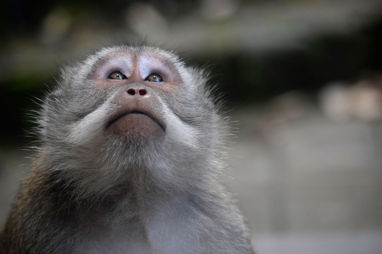 Bali Monkey 08