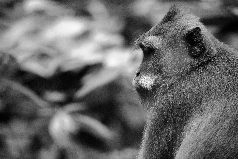 Bali Monkey 03