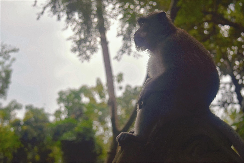 Bali Monkey 06