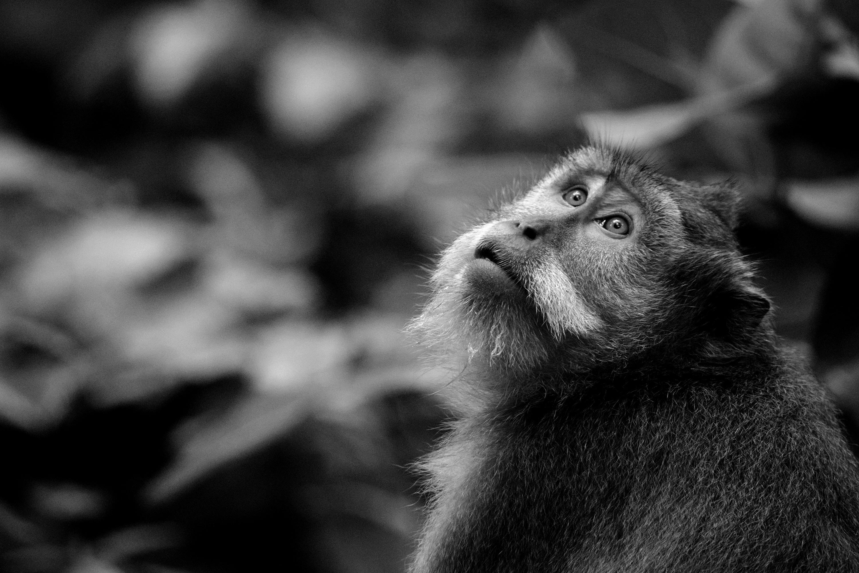 Bali Monkey 02