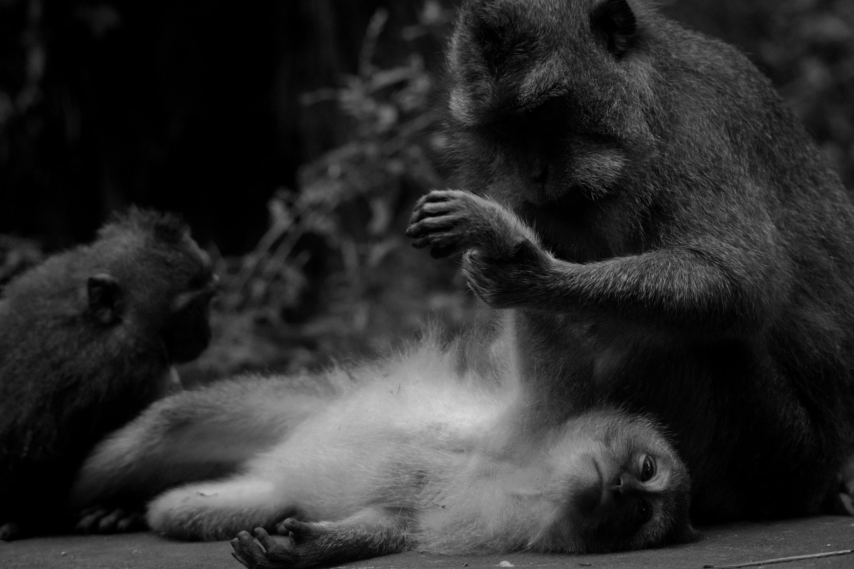Bali Monkey 01