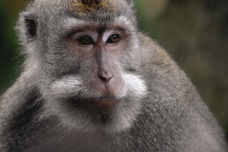 Bali Monkey 07