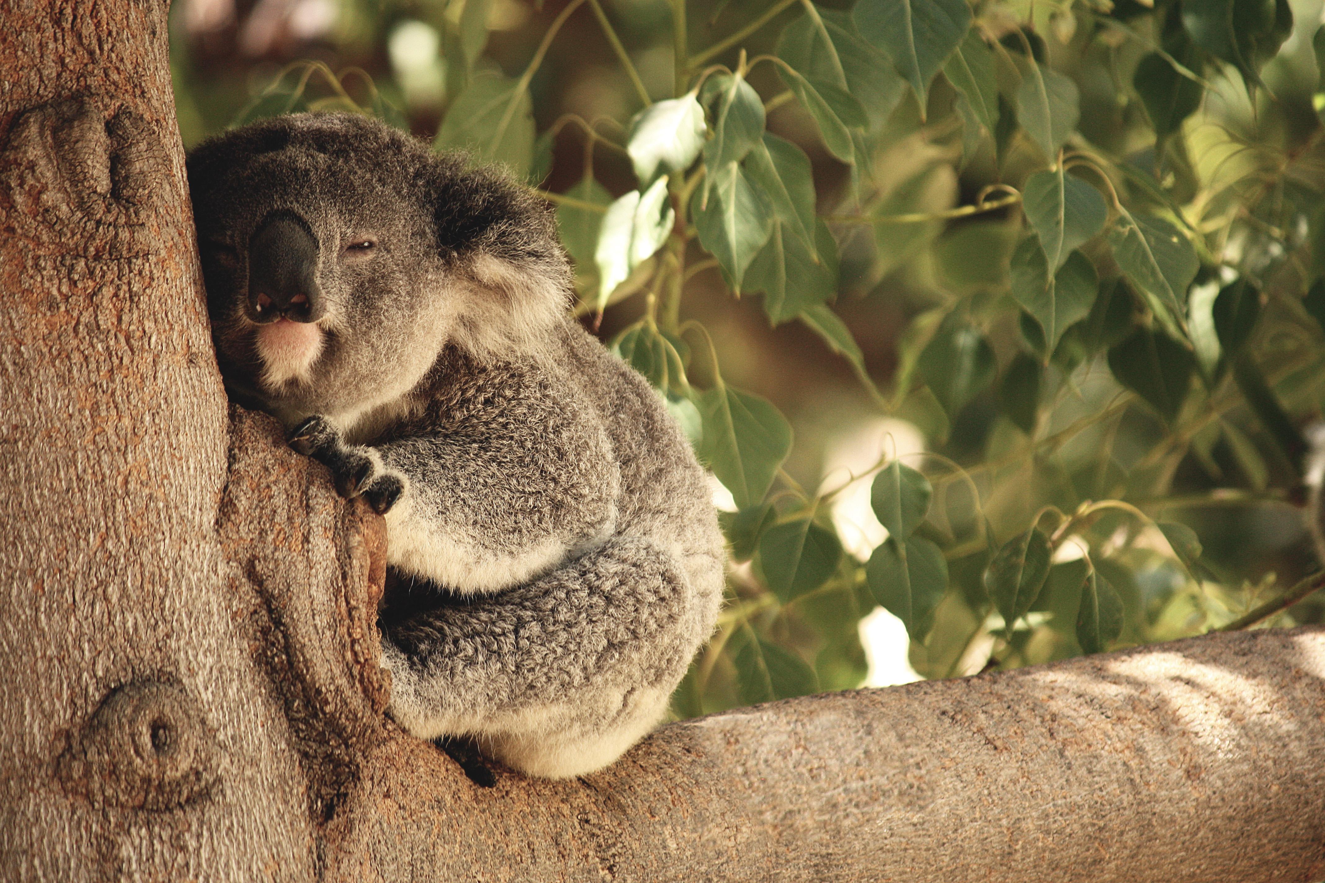 Koala Nap