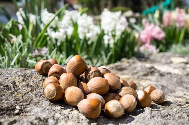 la noisette fait partie des fruits à coques les plus populaires