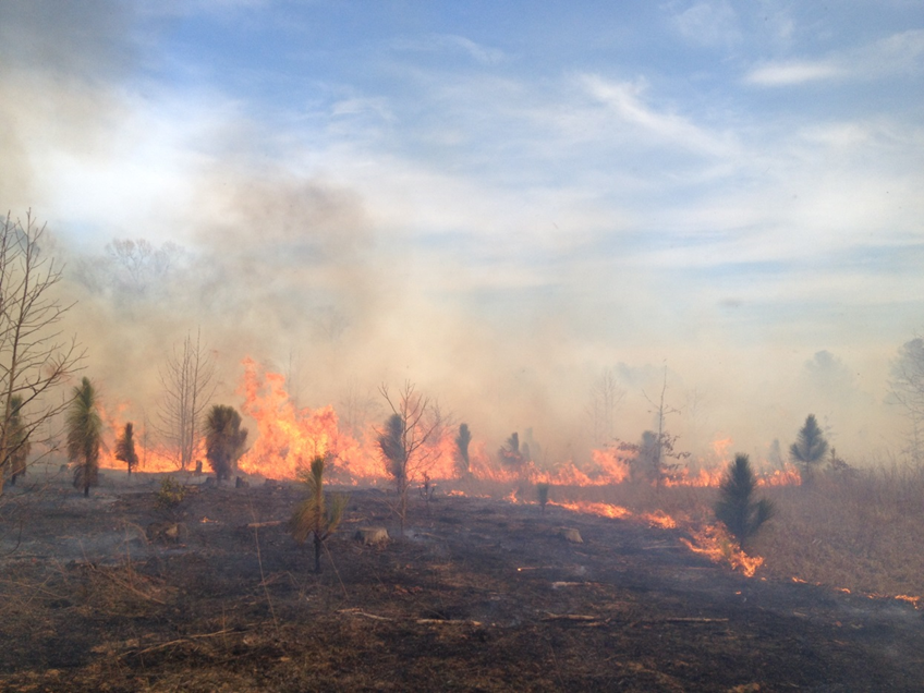 1. A 2013 prescribed fire in a five year old planted Longleaf Pine stand at Chub Sandhill Natural Area Preserve. DCR Natural Areas Stewardship Manager Rick Myers speculated that this was the first fire of this kind on this kind of site in hundreds of years.