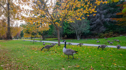 Geese of Stanley Park