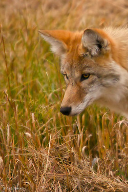 A Wiley Coyote