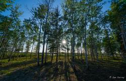 Sunburst Birch