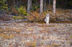 Leering Lynx