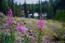 Cameron River Fireweed