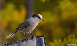 Grey Jay Visitor