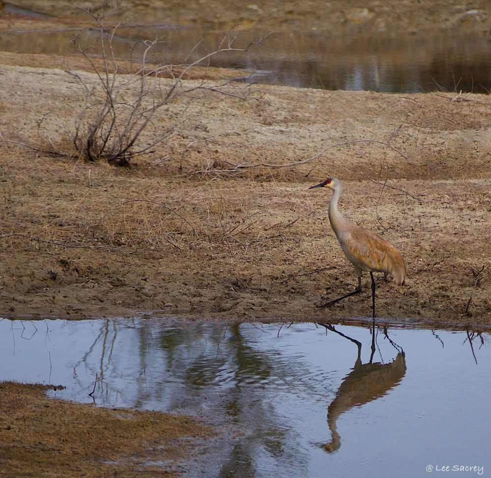 Reflection of a Sandhill