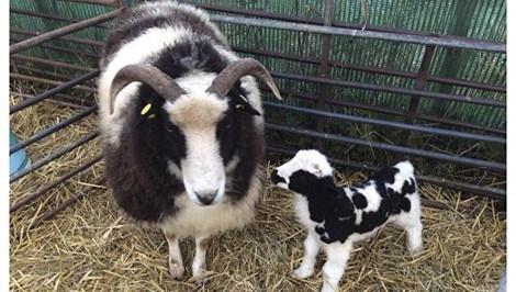 """Библейские """"овцы Иакова"""" появятся на своей исторической родине"""
