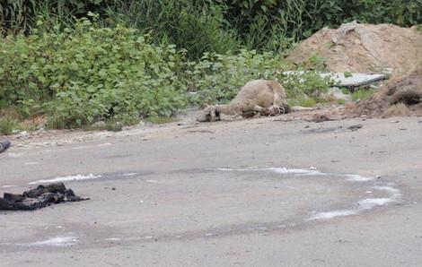 В Тростенце нашли принесенного в жертву барана, который лежал у магического круга