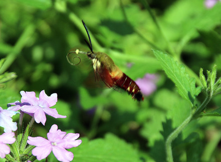 Hummingbird moth 5 Pittsburgh Aug 8, 201