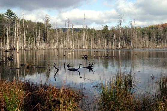 NY Beaver dam dead trees centered 07.jpg
