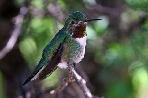 Broad-tailed Hummingbird Sonora Desert M